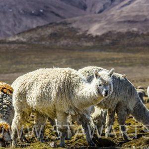 _E3A5660_Peru_Colca Tal_Alpaca