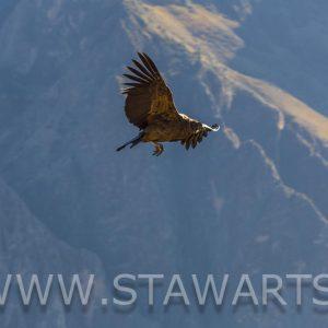 _E3A5938_Peru_Colca Tal_Condor