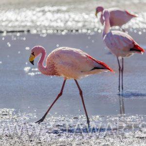 _E3A7985_Bolivien_Salar de Uyuni_Flamingo in Laguna Hedionda